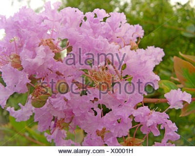 crapemyrtle (Lagerstroemia indica), blooming - Stock Photo