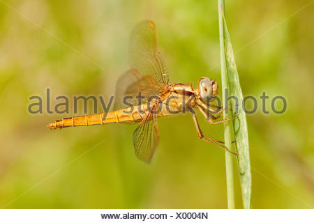 Lateral view of a female Scarlet Darter (Crocothemis erythraea) - Stock Photo