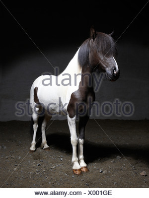 Pure Breed Icelandic Mare, Iceland - Stock Photo