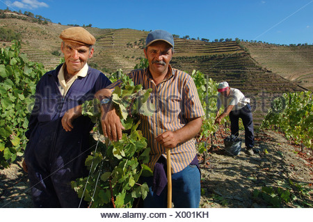 Winegrowing in the Vale Mendiz, grape pickers during grape harvest, Pinhao, Douro Region, North Portugal, Europe - Stock Photo