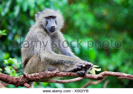 Baboon monkey in African bush - Stock Photo
