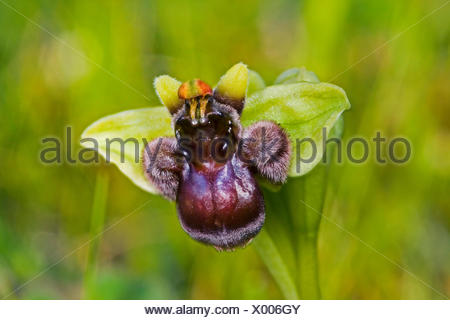 silky fowered ophrys (Ophrys bombyliflora), flower - Stock Photo