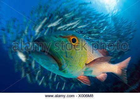 Red Snapper, Lutjanus bohar, Great Barrier Reef, Australia - Stock Photo