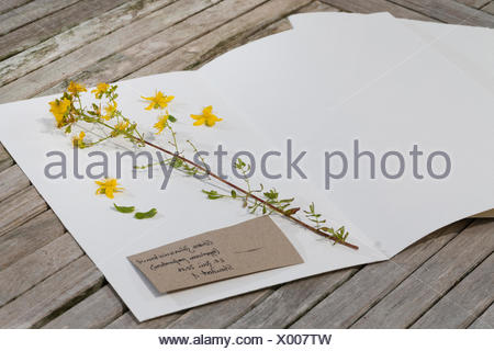 Echtes Johanniskraut, Tuepfel-Hartheu, Tuepfelhartheu, Tuepfel-Johanniskraut, Tuepfeljohanniskraut, Johanniskraut (Hypericum per - Stock Photo