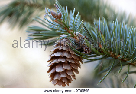 sitka spruce (Picea sitchensis), branch with cone - Stock Photo