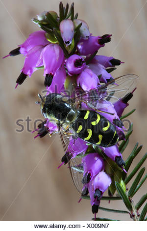 Cabbage aphid hover fly (Scaeva pyrastri), on winter heath, Germany - Stock Photo