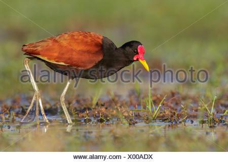 Wattled Jacana (Jacana jacana) perched on the ground in the Pantanal region of Brazil. - Stock Photo