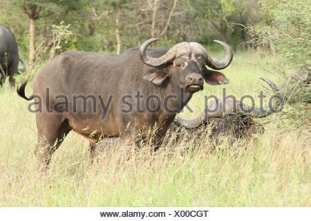 African cape buffalos - Stock Photo