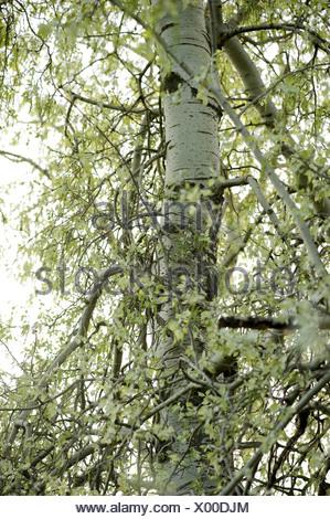 silver poplar, populus alba - Stock Photo