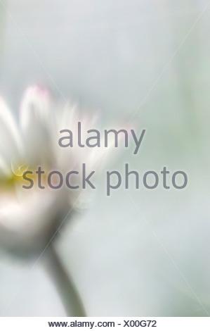 Daisy (Bellis perennis), close up - Stock Photo