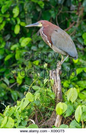 Rufescent Tiger-Heron (Tigrisoma lineatum) perched on a branch in the Amazon in Peru - Stock Photo