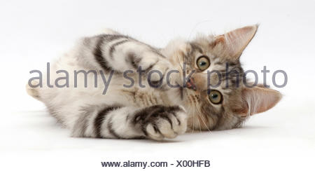 Silver tabby kitten, Loki, age 3 months, lying on his side. - Stock Photo