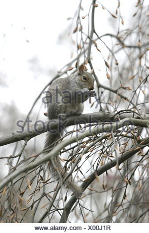Graues Eichhoernchen auf einem Baum in Kensington Gardens London - Stock Photo