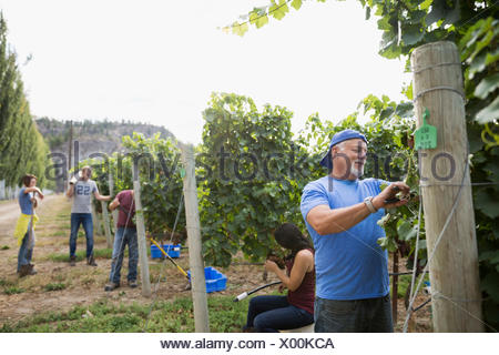 Workers working among vines in vineyard - Stock Photo