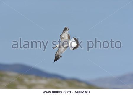 Common Gull Larus canus - Stock Photo