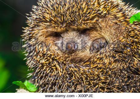 Four-toed young hedgehog, Atelerix albiventris - Stock Photo