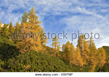 European Larch (Larix decidua), Stallen Valley, Karwendel Mountains, Tyrol, Austria, Europe - Stock Photo