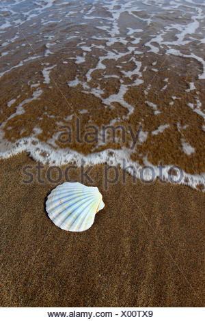 great scallop, common scallop, coquille St. Jacques (Pecten maximus), on sandy beach, United Kingdom, Scotland - Stock Photo