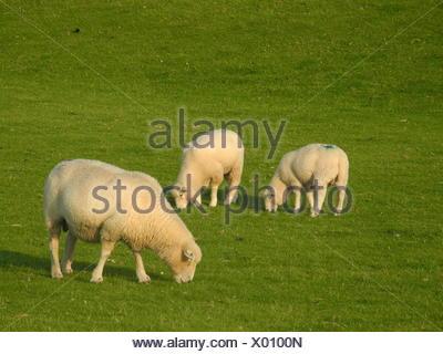 schaf,  nordsee, norddeutschland, tier, grasen, grasend, wiese, weide, gras, schafsweide, - Stock Photo