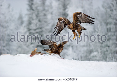 Golden Eagles Aquila chrysaetos fighting over food Finland winter