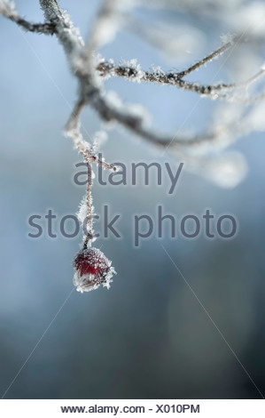 Hawthorn, Crataegus laevigata, one frosted berry or 'haw'  hanging from a twig. - Stock Photo