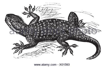 Sinai Fan-fingered Gecko or Ptyodactylus guttatus, vintage engraving  Old engraved illustration of Sinai Fan-fingered Gecko