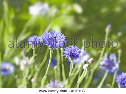 Cornflowers, Centaurea cyanus, composites, Central, Europe, field, - Stock Photo