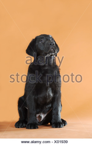 Black Labrador Retriever puppy, sitting, looking up - Stock Photo
