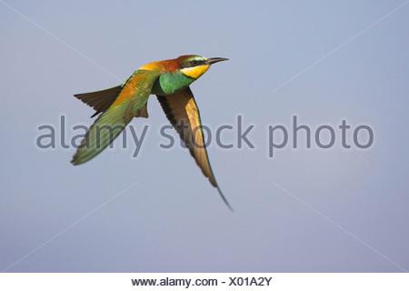 European bee eater (Merops apiaster), flying, Germany - Stock Photo