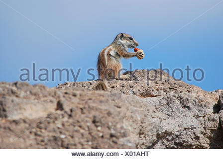 barbary ground squirrel, North African ground squirrel (Atlantoxerus getulus), feeding on a nut, Canary Islands, Fuerteventura, Costa Calma - Stock Photo