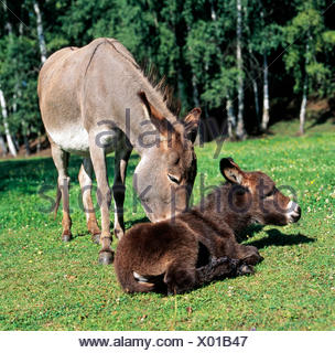 Grey donkey mare, brown foal, caressing, motherly love, meadow, resting - Stock Photo