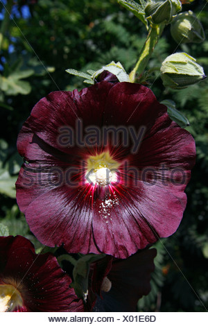 Flowering Black Hollyhock (Alcea rosea cultivar Nigra) - Stock Photo