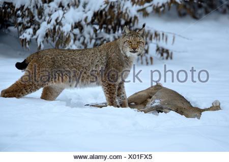 Lynx cat big cat predator cats wildcat big cats lynxes fur animals Lynx lynx Eurasian lynx European lynx winter prey animal, - Stock Photo
