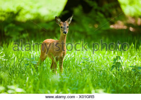 Roe Deer (Capreolus capreolus), doe, standing in a meadow, Lower Saxony, Germany - Stock Photo