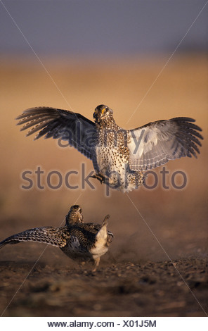 Male Sharp-tailed grouse (Tympanuchus phasianellus) fighting at lek in spring, Saskatchewan, Canada