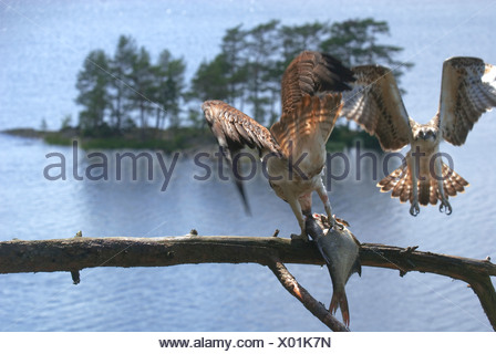 Handover of fish from female to male osprey, Halden, Norway. - Stock Photo
