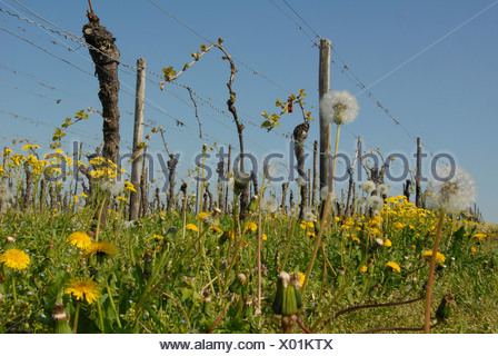 row of vineyard in spring, Germany, Rhineland-Palatinate, Palatinate, German Wine Route - Stock Photo