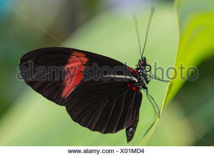 Postman Butterfly or Common Postman (Heliconius melpomene), butterfly house, botanical garden, Munich, Upper Bavaria, Bavaria - Stock Photo
