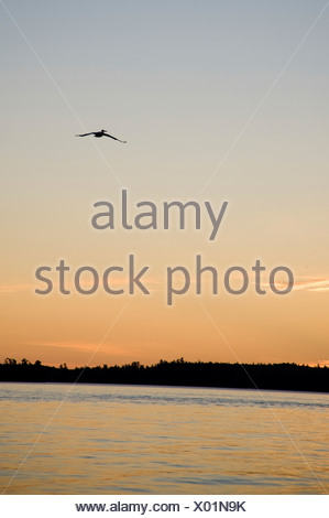 Lake Of The Woods, Ontario, Canada; Bird In Flight Above Lake With Sunset - Stock Photo
