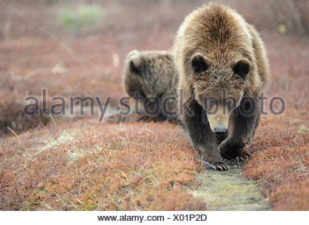 Kamtchatka Brown Bear (Ursus arctos beringianus). Two bears on a bear trail. Kronotsky Zapovednik, Kamchatka, Russia - Stock Photo