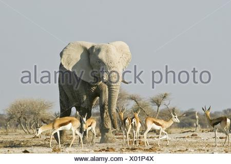 African Elephant and springboks - Stock Photo