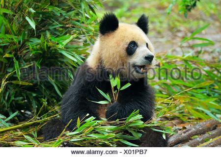 Giant Panda (Ailuropoda melanoleuca) feeding on bamboo leaves, captive, Chengdu Research Base of Giant Panda Breeding or Chengdu - Stock Photo