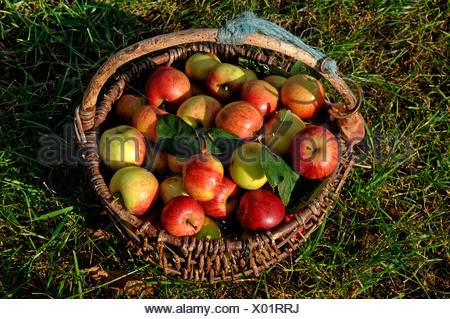 Fresh picked Apples (Malus domesticus) in a basket - Stock Photo