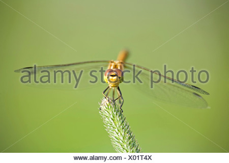 Dragonfly (Sympetrum) on grass - Stock Photo