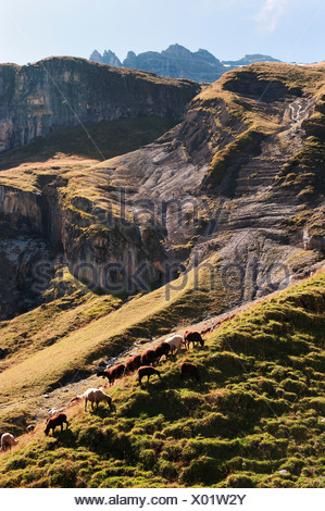 ceremonial driving down of cattle from the mountain pastures into the valley, Alps, alp, mountains, mountain landscape, mountain - Stock Photo