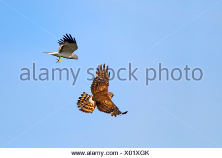hen harrier (Circus cyaneus), flying pair after male has given prey to female , Netherlands, Texel - Stock Photo