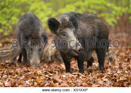 Wild boar (Sus scrofa), sows and piglets in springtime, forest, captive, North Rhine-Westphalia, Germany - Stock Photo