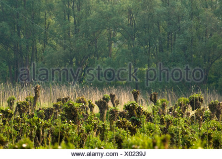 Griendcultuur en wilgenvloedbos op de Pannekoek in Nationaalpark de Biesbosch; Willowcoppice and willow woodland in Biesbosch National Park - Stock Photo