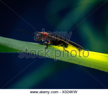 LIGHTNING BUG, FIREFLY OR COMMON EASTERN FIREFLY (PHOTINUS PYRALIS) ADULT ON GRASS; BIOLUMINESCENCE; BEETLE - Stock Photo