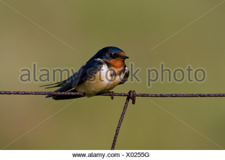 Barn swallow (Hirundo rustica) perched on a wire fence at the Carden Alvar in Ontario, Canada - Stock Photo